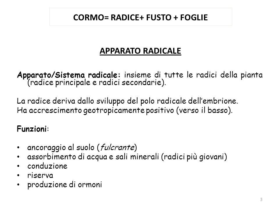 CORMO= RADICE+ FUSTO + FOGLIE