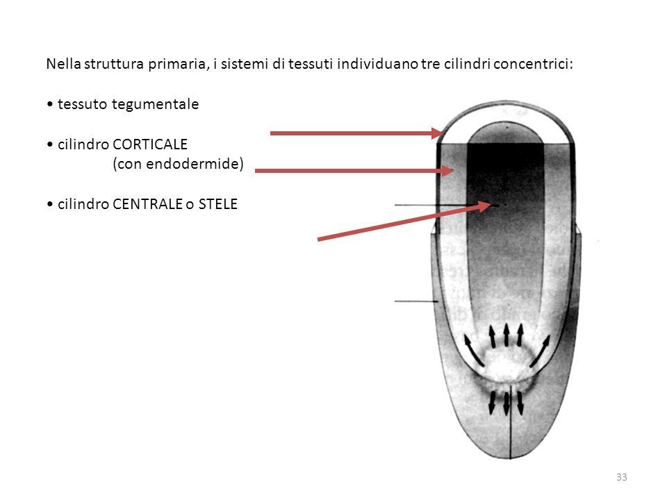 Nella struttura primaria, i sistemi di tessuti individuano tre cilindri concentrici:
