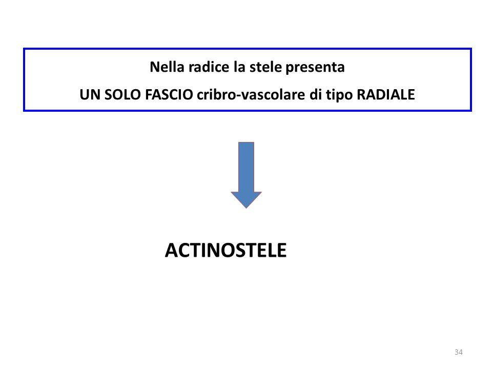ACTINOSTELE Nella radice la stele presenta