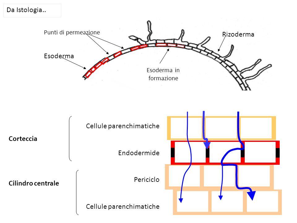 Esoderma in formazione