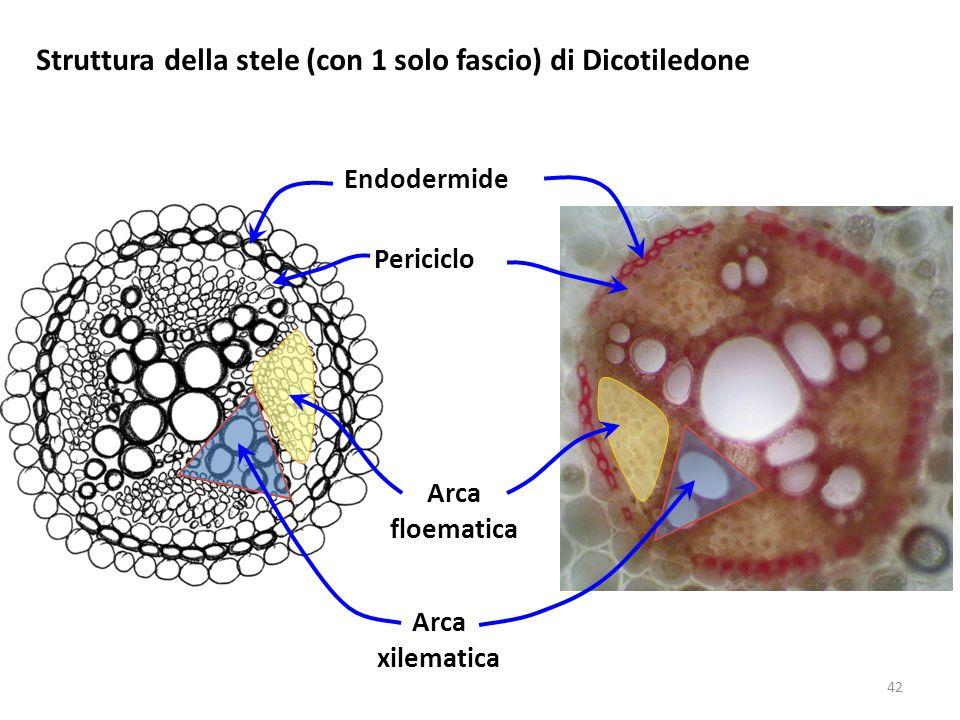 Struttura della stele (con 1 solo fascio) di Dicotiledone