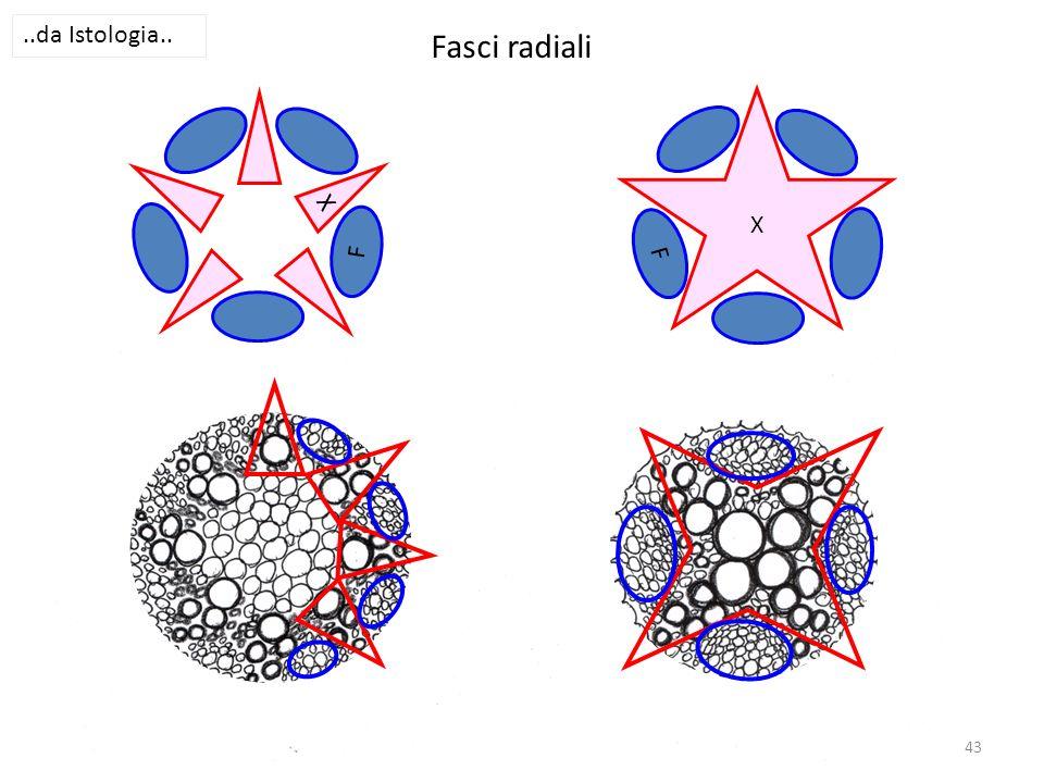 ..da Istologia.. Fasci radiali X X F F