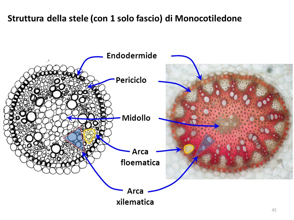Struttura della stele (con 1 solo fascio) di Monocotiledone
