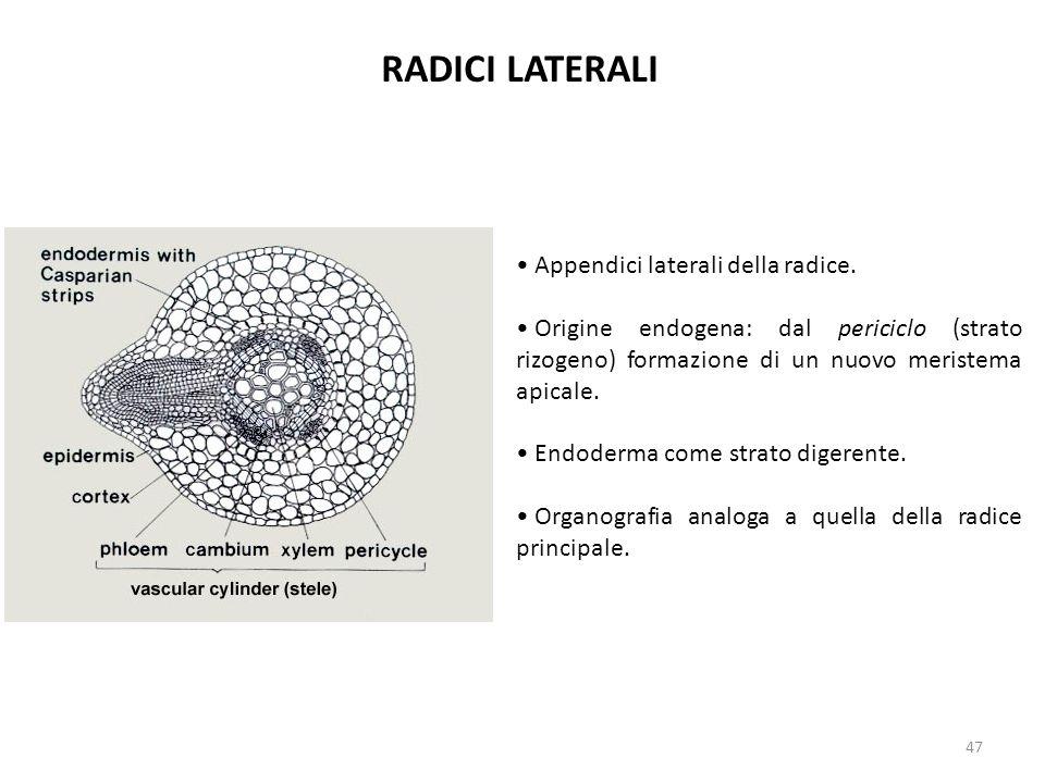 RADICI LATERALI Appendici laterali della radice.