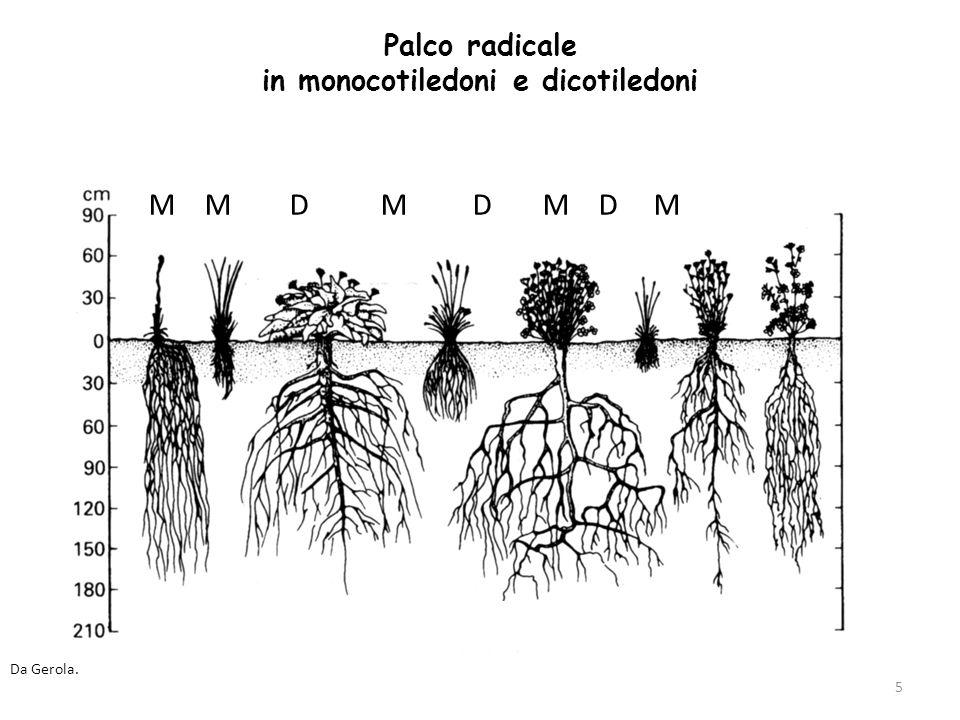 Palco radicale in monocotiledoni e dicotiledoni