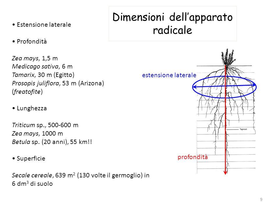 Dimensioni dell'apparato radicale