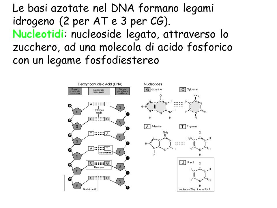 Le basi azotate nel DNA formano legami idrogeno (2 per AT e 3 per CG).