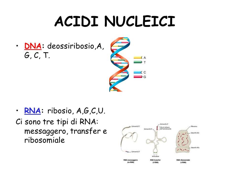 ACIDI NUCLEICI DNA: deossiribosio,A, G, C, T. RNA: ribosio, A,G,C,U.