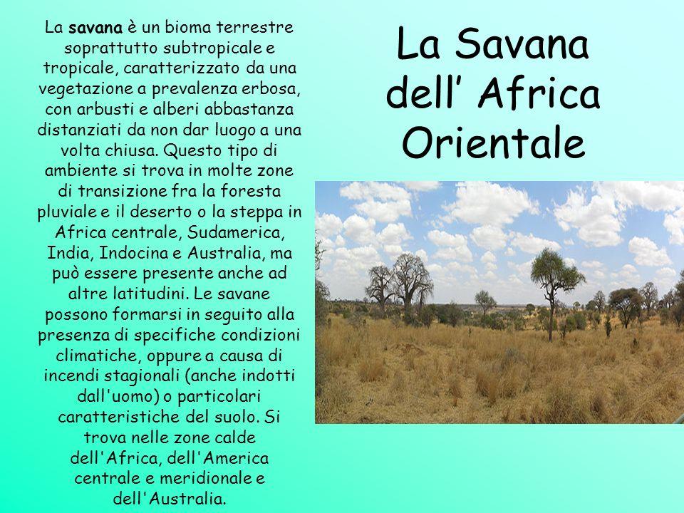 La Savana dell' Africa Orientale