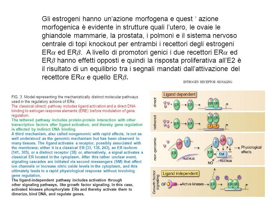 Gli estrogeni hanno un'azione morfogena e quest ' azione morfogenica è evidente in strutture quali l'utero, le ovaie le ghiandole mammarie, la prostata, i polmoni e il sistema nervoso centrale di topi knockout per entrambi i recettori degli estrogeni ERa ed ERb. A livello di promotori genici i due recettori ERa ed ERb hanno effetti opposti e quindi la risposta proliferativa all'E2 è il risultato di un equilibrio tra i segnali mandati dall'attivazione del recettore ERa e quello ERb.