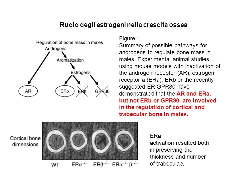 Ruolo degli estrogeni nella crescita ossea