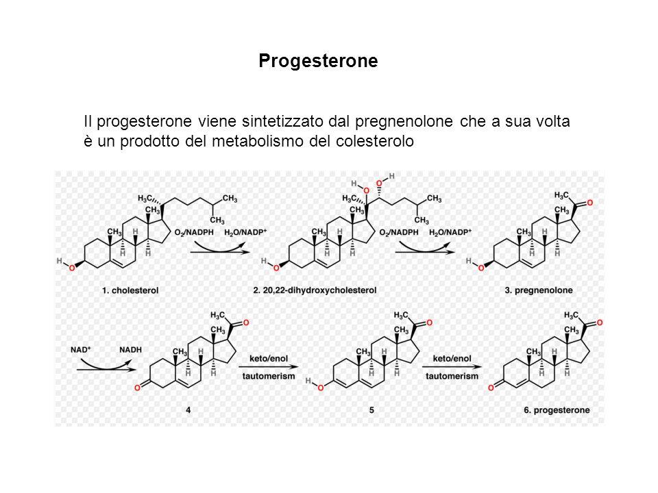 Progesterone Il progesterone viene sintetizzato dal pregnenolone che a sua volta è un prodotto del metabolismo del colesterolo.