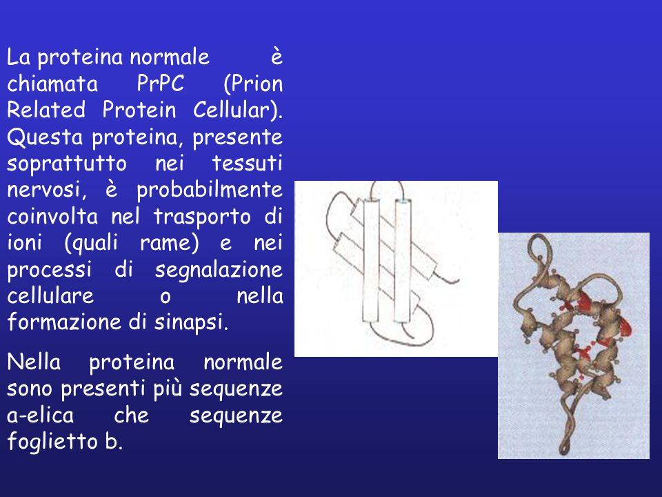 La proteina normale è chiamata PrPC (Prion Related Protein Cellular)