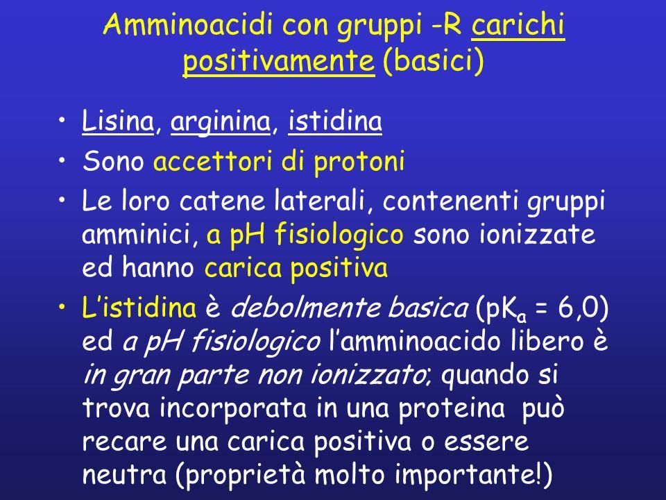 Amminoacidi con gruppi -R carichi positivamente (basici)