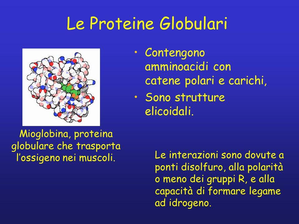 Mioglobina, proteina globulare che trasporta l'ossigeno nei muscoli.