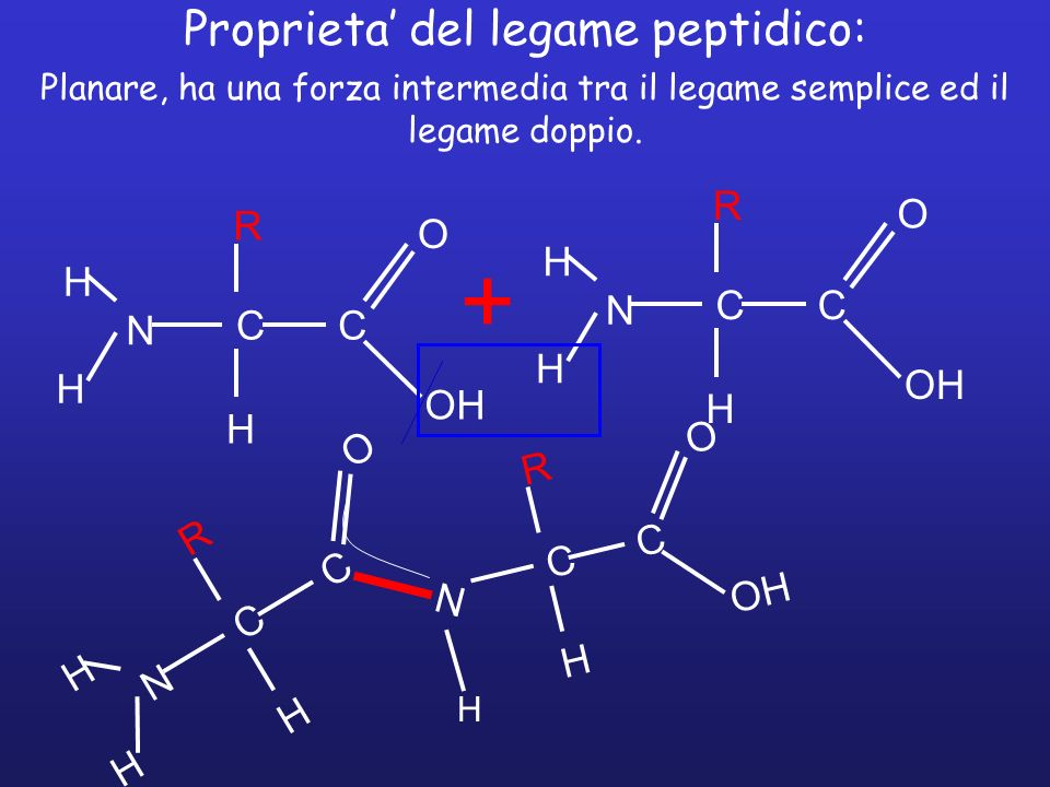 Proprieta' del legame peptidico: