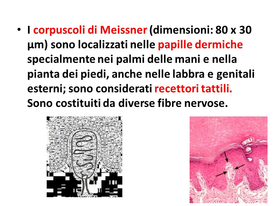 I corpuscoli di Meissner (dimensioni: 80 x 30 μm) sono localizzati nelle papille dermiche specialmente nei palmi delle mani e nella pianta dei piedi, anche nelle labbra e genitali esterni; sono considerati recettori tattili.