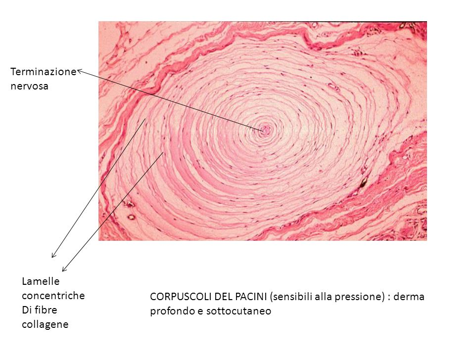 Terminazione nervosa. Lamelle concentriche. Di fibre collagene.