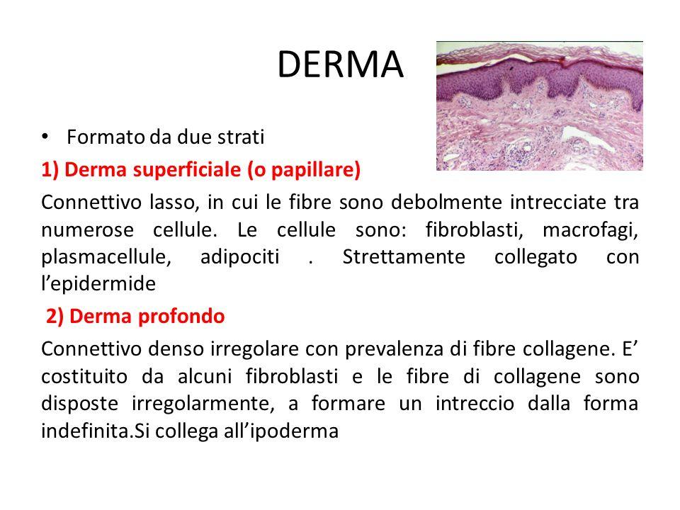 DERMA Formato da due strati 1) Derma superficiale (o papillare)