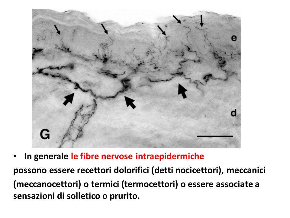 In generale le fibre nervose intraepidermiche
