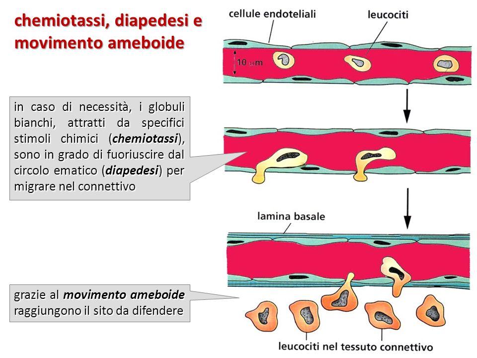 chemiotassi, diapedesi e movimento ameboide