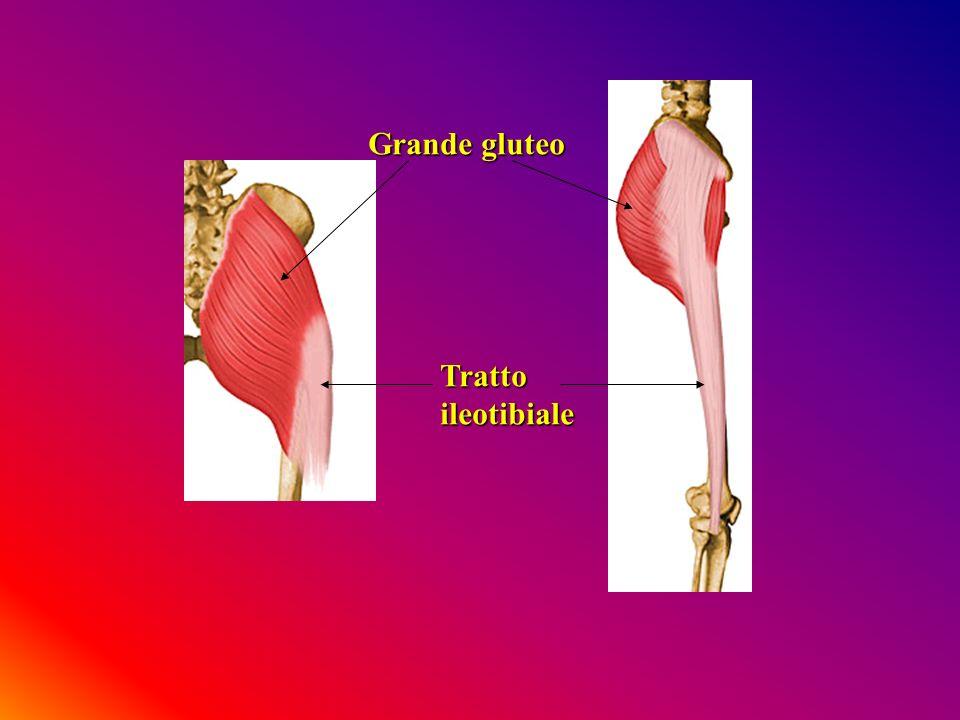 Grande gluteo Tratto ileotibiale