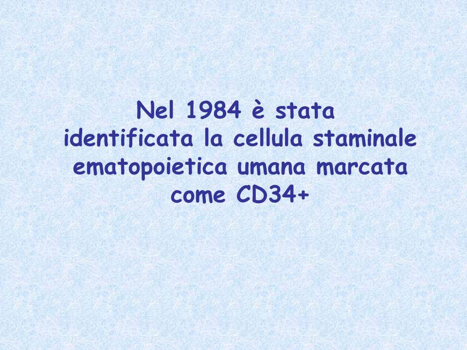 identificata la cellula staminale ematopoietica umana marcata