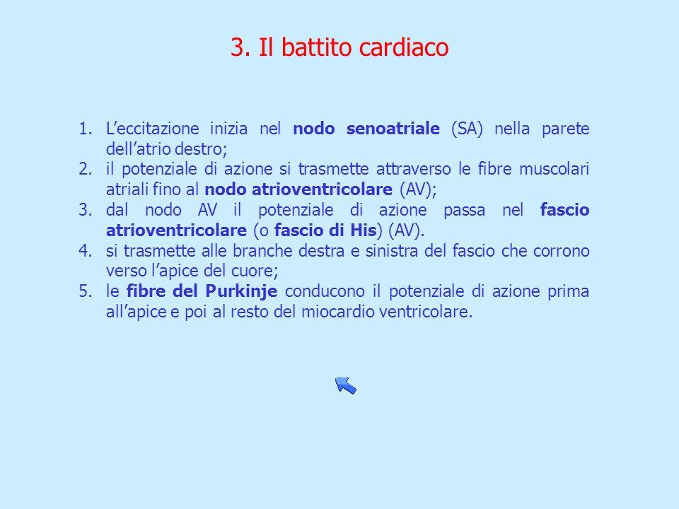 3. Il battito cardiaco L'eccitazione inizia nel nodo senoatriale (SA) nella parete dell'atrio destro;