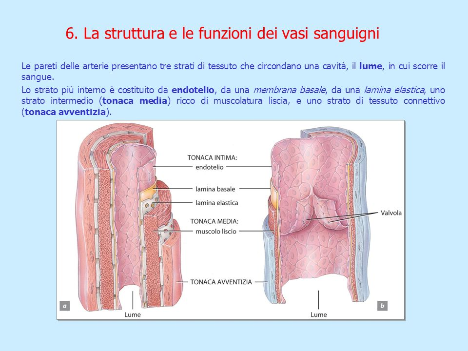 6. La struttura e le funzioni dei vasi sanguigni