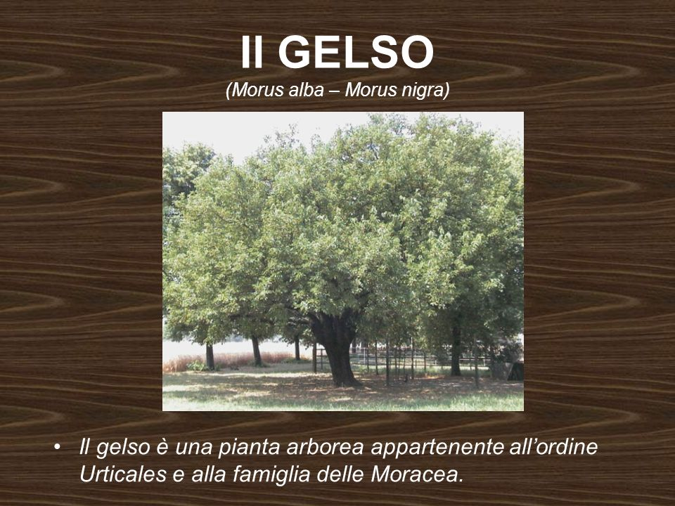 Il GELSO (Morus alba – Morus nigra)