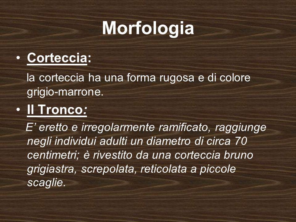 Morfologia Corteccia: