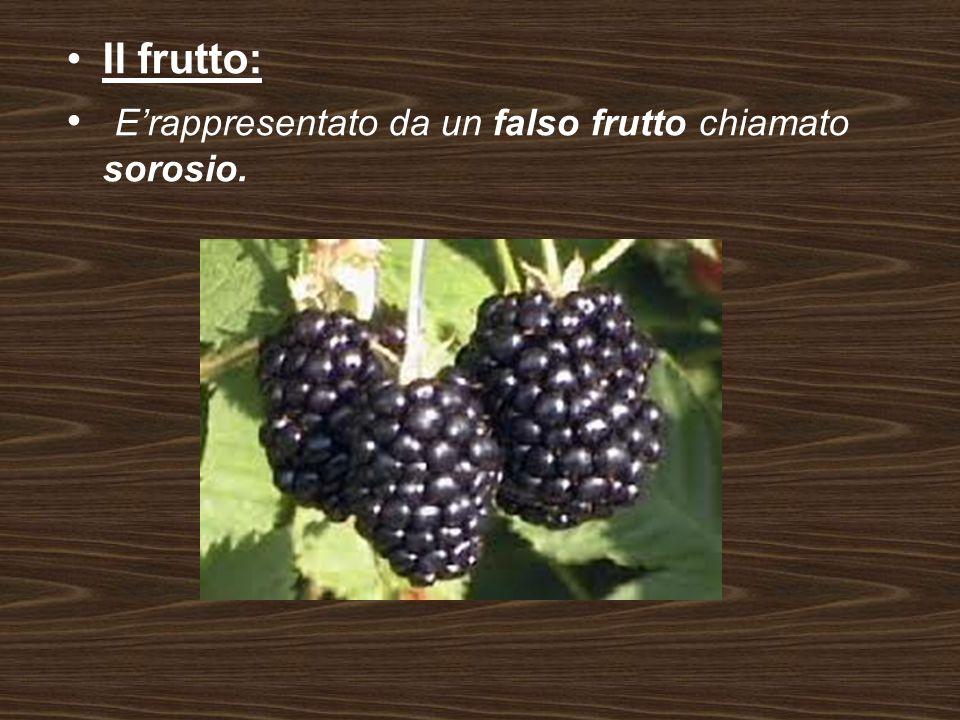 Il frutto: E'rappresentato da un falso frutto chiamato sorosio.
