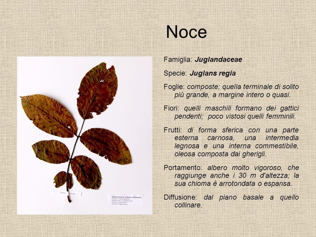 Noce Famiglia: Juglandaceae Specie: Juglans regia
