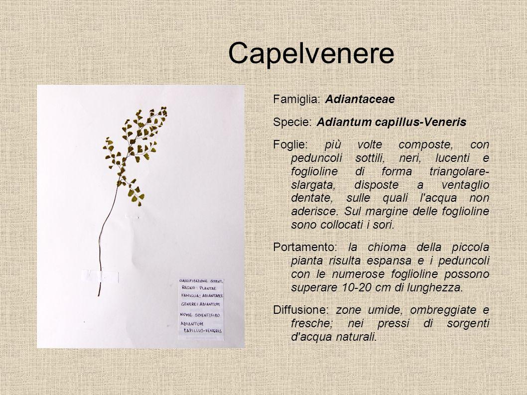 Capelvenere Famiglia: Adiantaceae Specie: Adiantum capillus-Veneris