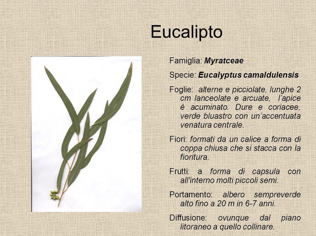 Eucalipto Famiglia: Myratceae Specie: Eucalyptus camaldulensis