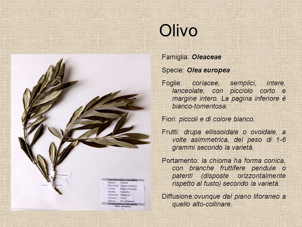 Olivo Famiglia: Oleaceae Specie: Olea europea