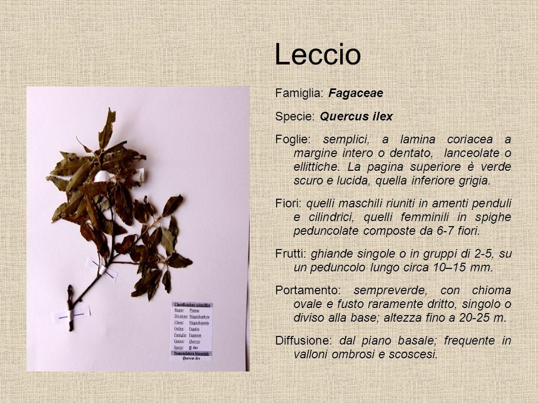 Leccio Famiglia: Fagaceae Specie: Quercus ilex