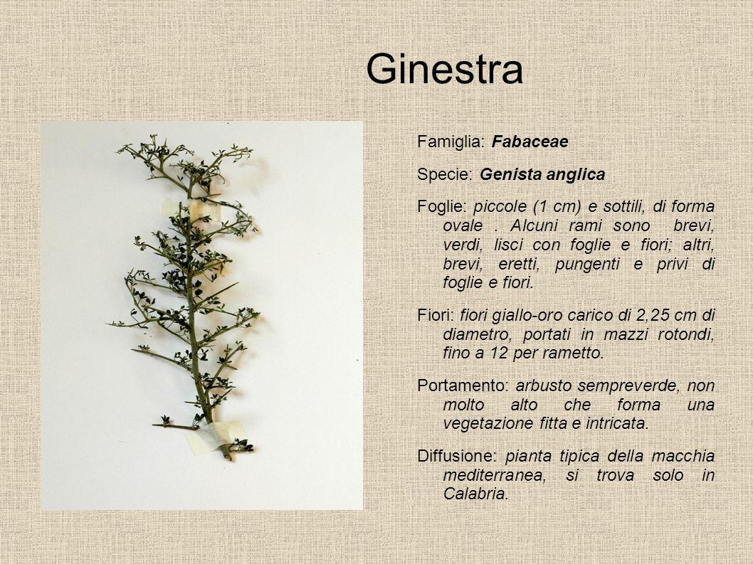 Ginestra Famiglia: Fabaceae Specie: Genista anglica