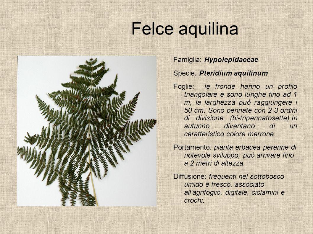 Felce aquilina Famiglia: Hypolepidaceae Specie: Pteridium aquilinum