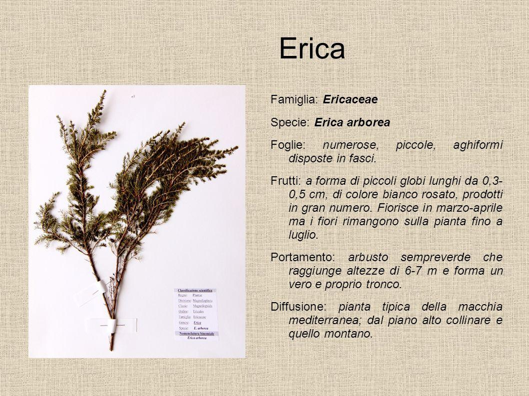 Erica Famiglia: Ericaceae Specie: Erica arborea