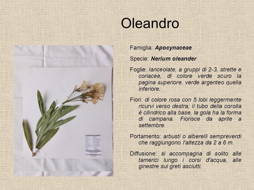 Oleandro Famiglia: Apocynaceae Specie: Nerium oleander