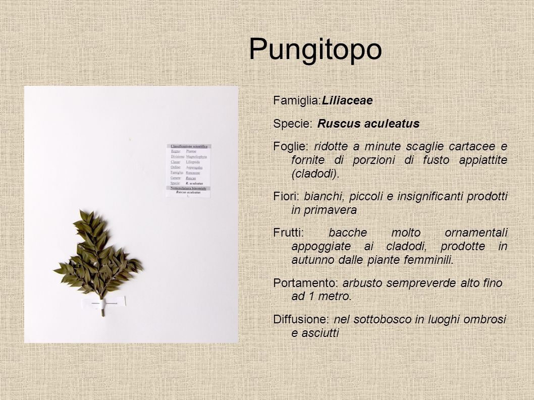 Pungitopo Famiglia:Liliaceae Specie: Ruscus aculeatus