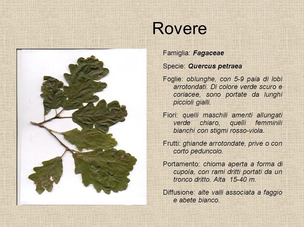 Rovere Famiglia: Fagaceae Specie: Quercus petraea