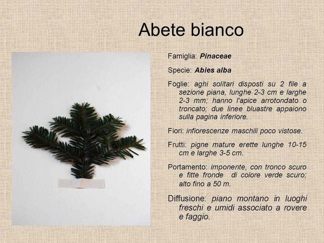 Abete bianco Famiglia: Pinaceae. Specie: Abies alba.