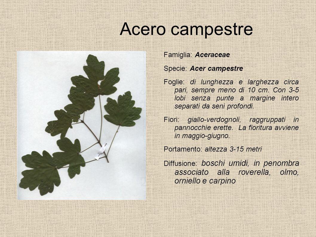 Acero campestre Famiglia: Aceraceae Specie: Acer campestre
