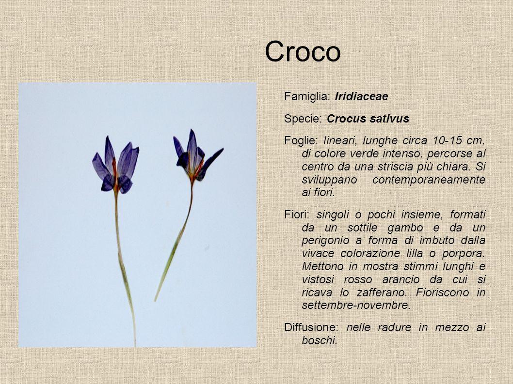Croco Famiglia: Iridiaceae Specie: Crocus sativus