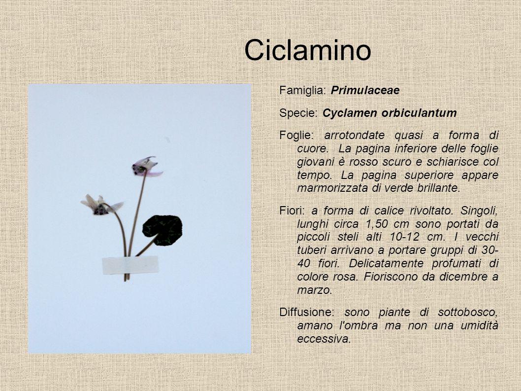 Ciclamino Famiglia: Primulaceae Specie: Cyclamen orbiculantum