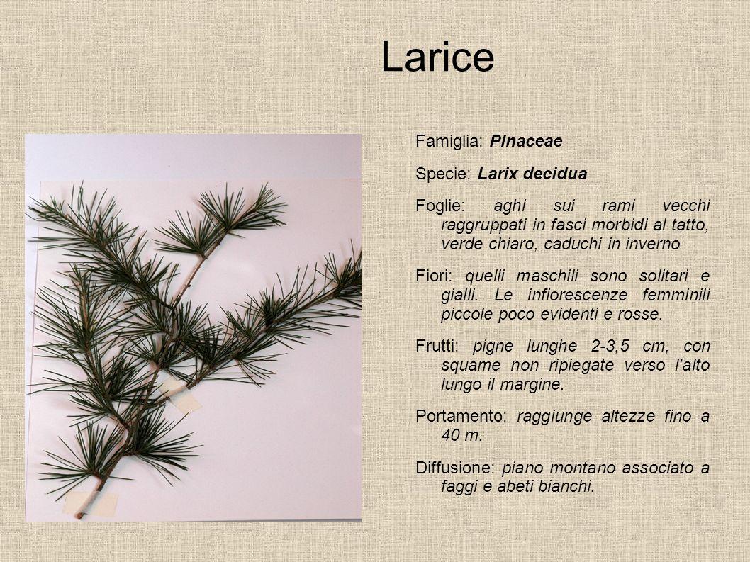 Larice Famiglia: Pinaceae Specie: Larix decidua