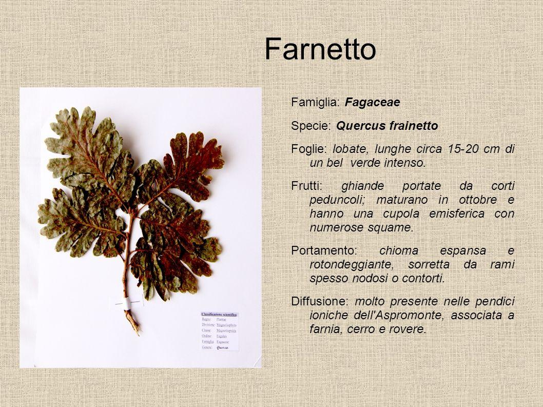 Farnetto Famiglia: Fagaceae Specie: Quercus frainetto