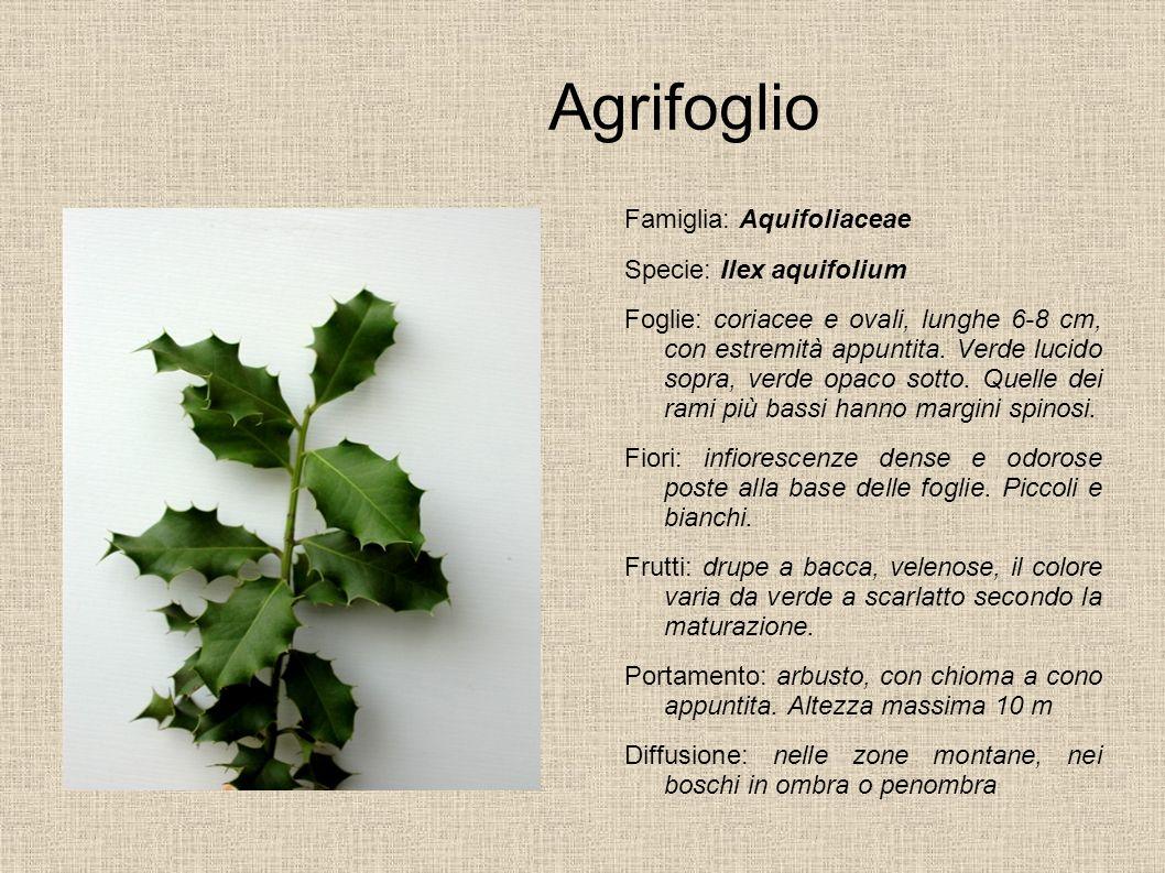 Agrifoglio Famiglia: Aquifoliaceae Specie: Ilex aquifolium